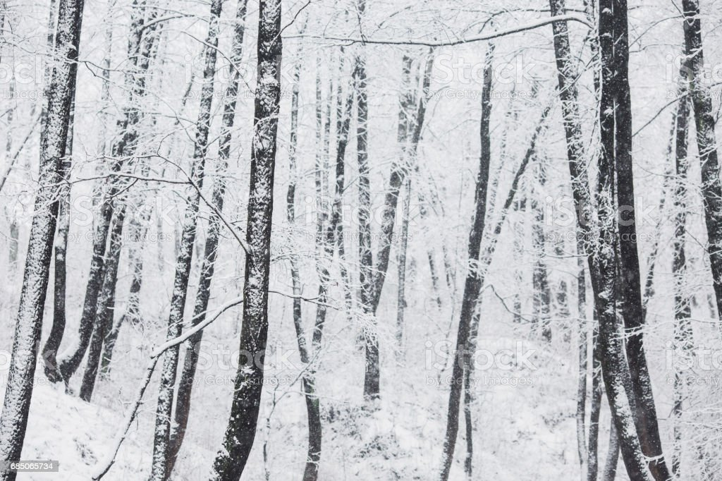 Fairy winter forest in the snow. Winter time. Heavy snowfall. Trees in the snow. Beautiful landscape. The trunks and branches of trees. foto de stock libre de derechos