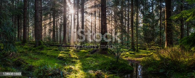 Golden beams of early morning sunlight streaming through the pine needles of a green forest to illuminate the soft mossy undergrowth in this idyllic woodland glade.