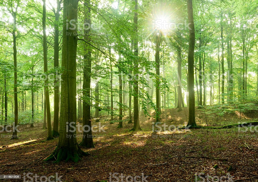 Fairytale Forest - Sunbeams in Natural Beech Tree Forest stock photo