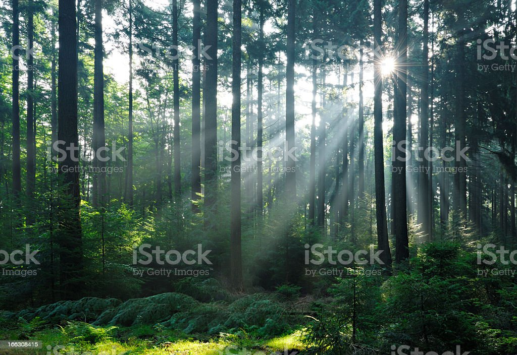 Fairytale Forest - Sunbeams in Natural Spruce Woodland stock photo