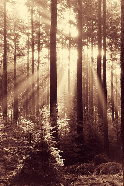 fairytale forest - sunbeams in natural spruce woodland - sepia stock photos and pictures