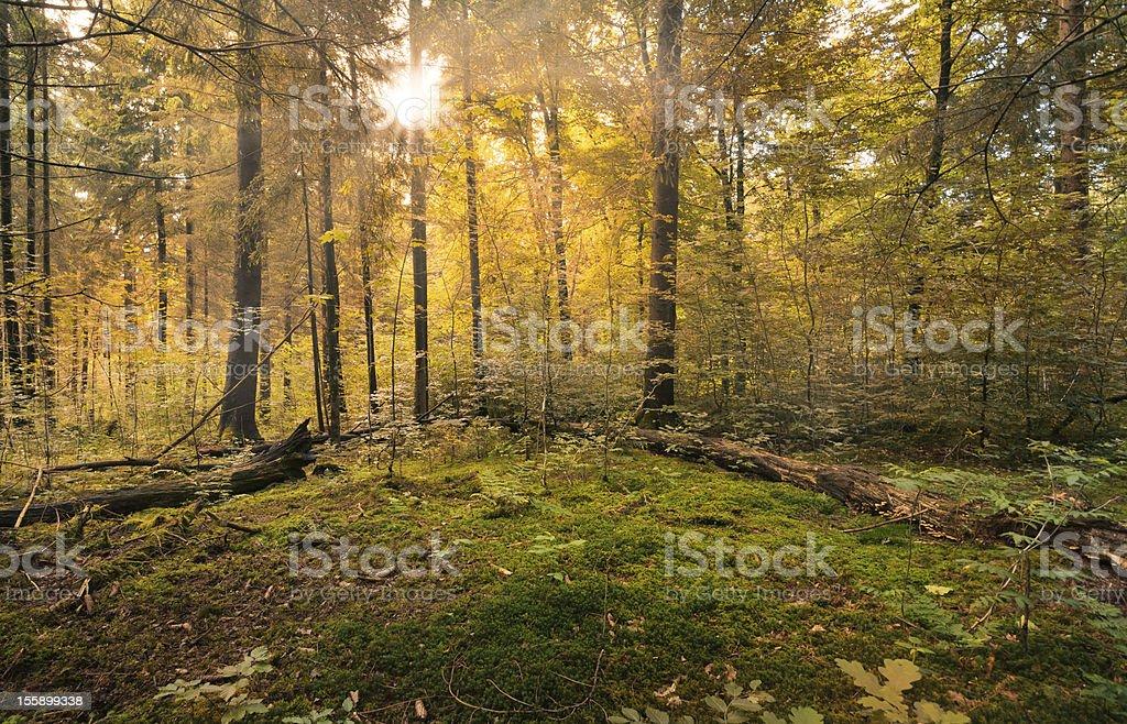 Fairytale Forest - Sunburst stock photo