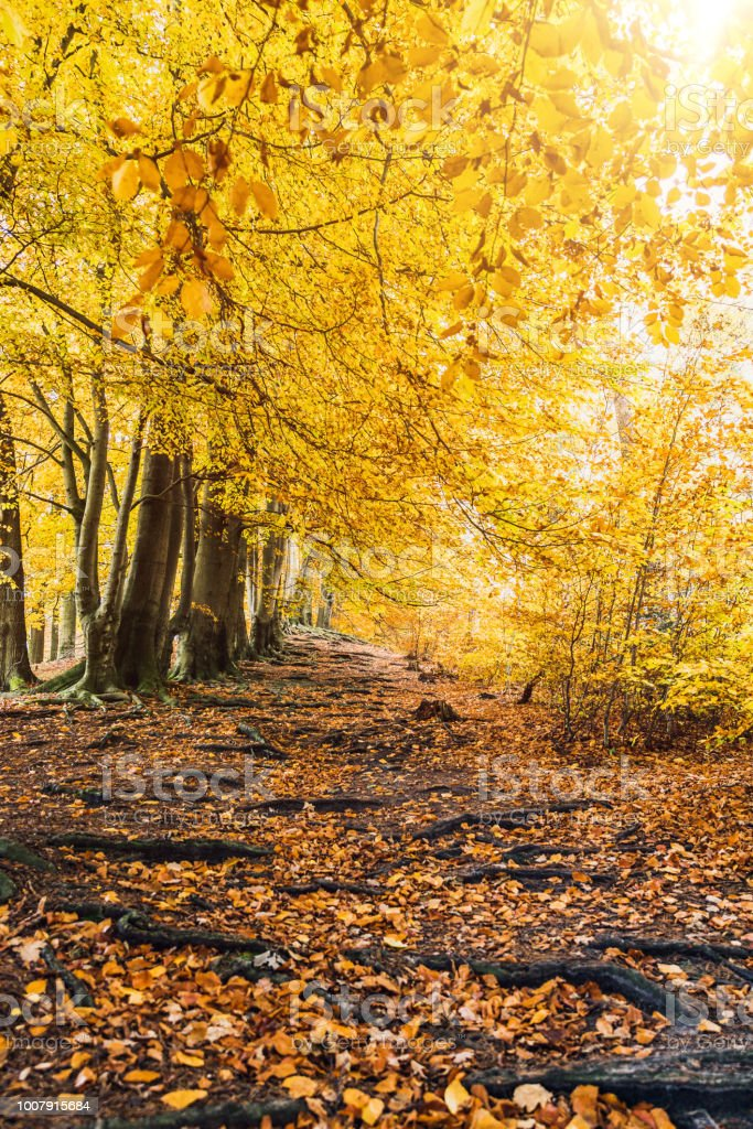 Fairytale hiking path with roots and yellow forest trees in autumn as template stock photo