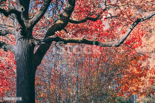 istock Fairytale old oak with red foliage in an autumn park. Copy space. 1059081316