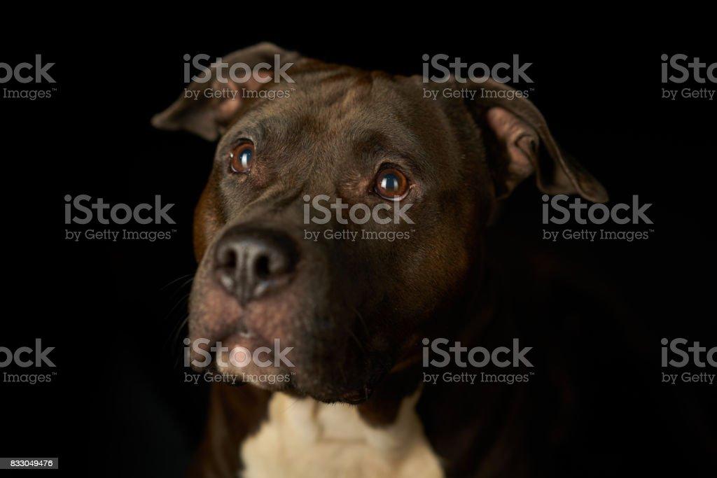 treuer Hund schwarzen Hintergrund – Foto