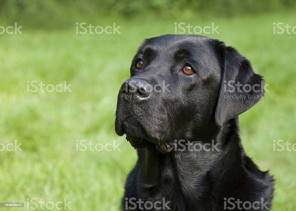Faithful Labrador stock photo