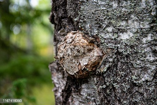 Fake chaga mushroom growing on the birch tree