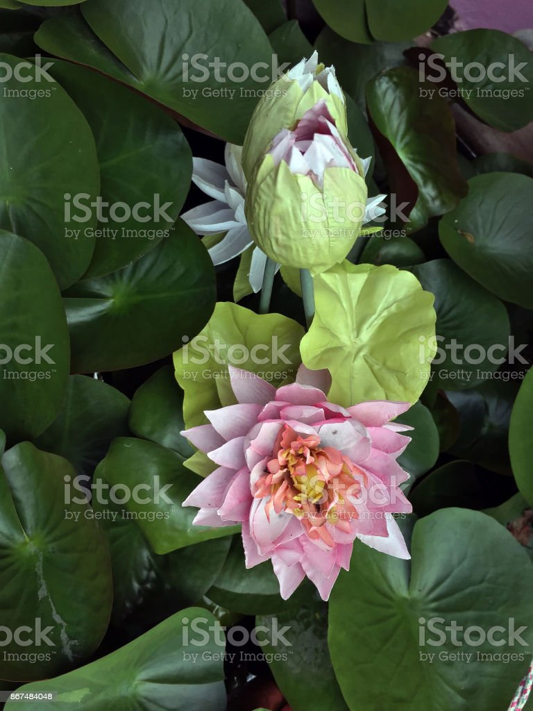 Fake Lotus Made From Fabric With Real Lotus Leaf Stock Photo More
