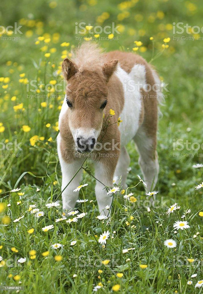 Falabella Foal stock photo