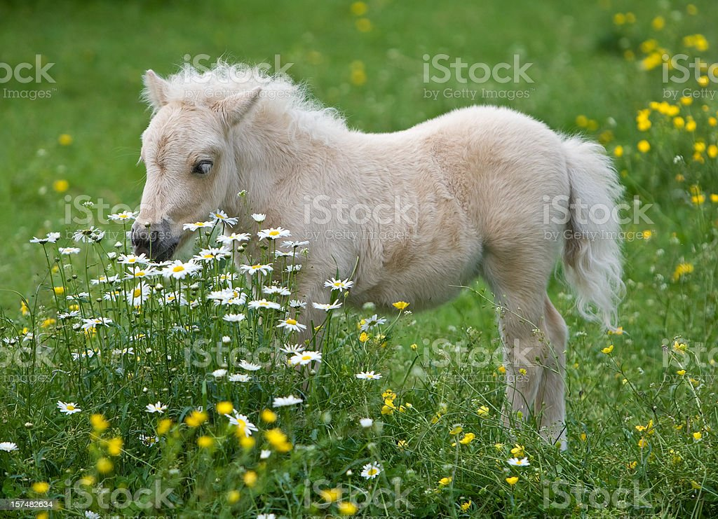 Falabella Foal Surrounded By Flowers stock photo
