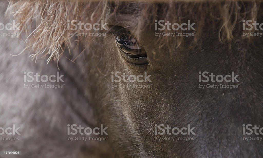 Falabella miniature horse stock photo