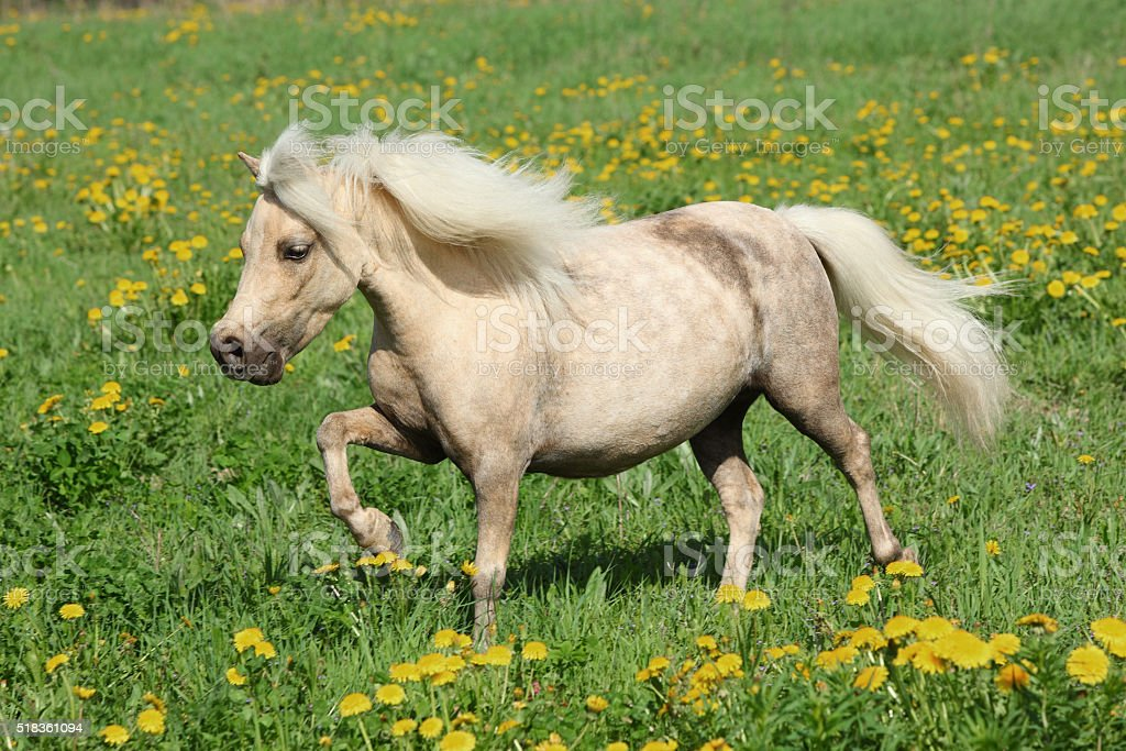Falabella pony in spring meadow stock photo