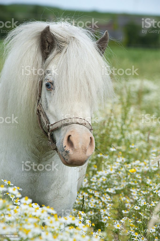 Falabella stallion in the camomile field stock photo