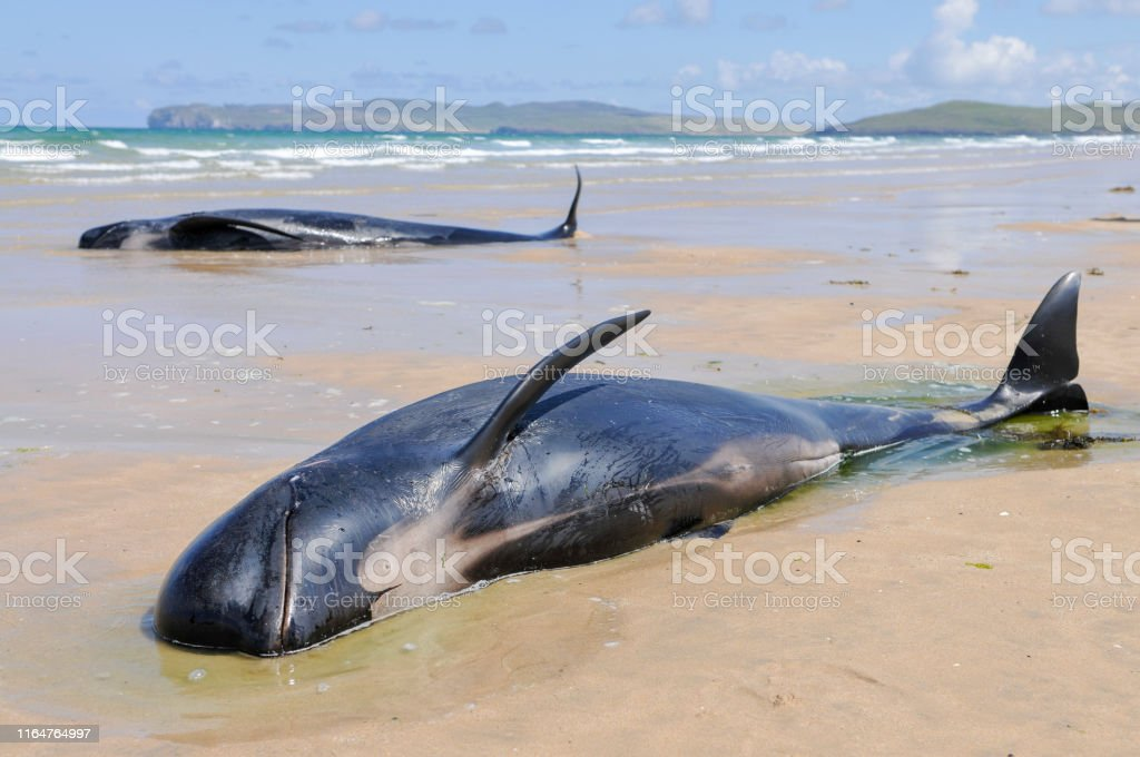 Twelve pilot whales die after beaching at Donegal, Ireland. - Foto stock royalty-free di Acqua