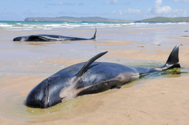 twelve pilot whales die after beaching at donegal, ireland. - stranded stock pictures, royalty-free photos & images