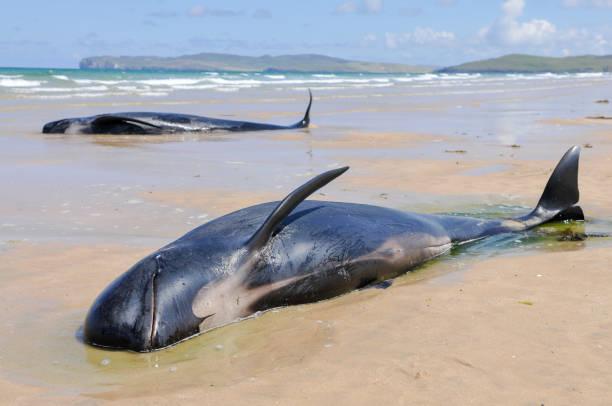 tolv pilothvalar dör efter att ha strandat i donegal, irland. - grundstött bildbanksfoton och bilder