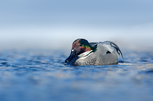 Falcated duck, Mareca falcata, in the water surface, winter in Kusharo lake in Hokkaido, Japan. Bird in the habitat, snow in the background. Duck floating on the lake, Asia.