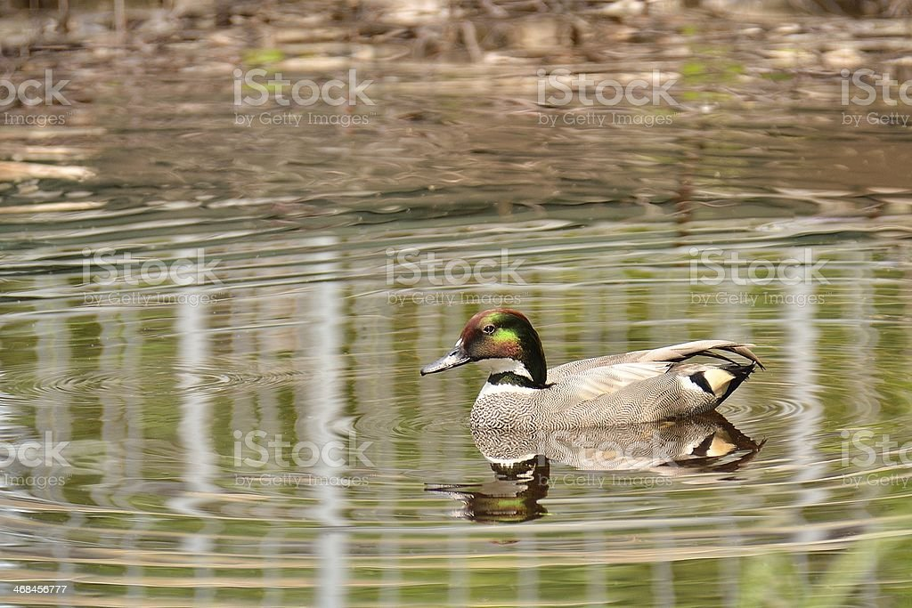 falcated duck royalty-free stock photo