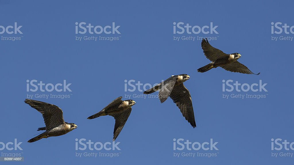 Falco peregrinus, flying sequence  in attack, falconry. stock photo