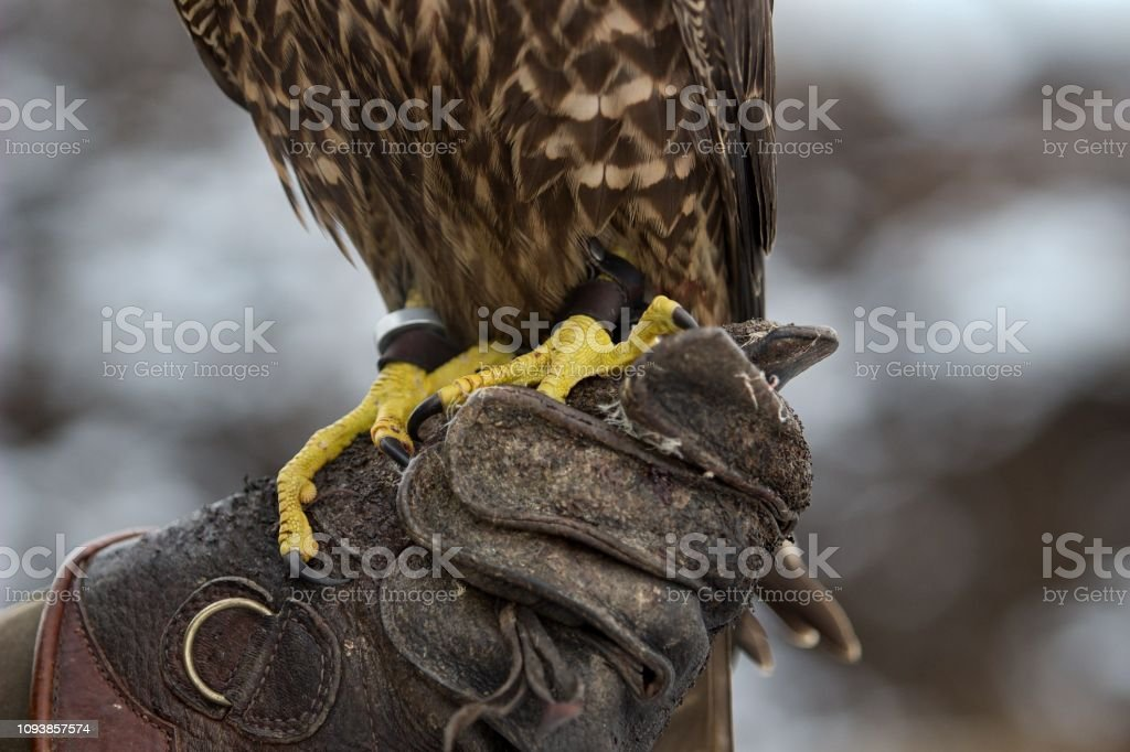 falcon claws on leather gloves stock photo