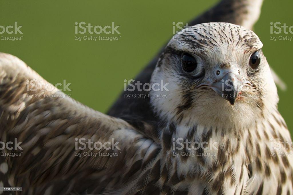 Falcon Close-up royalty-free stock photo