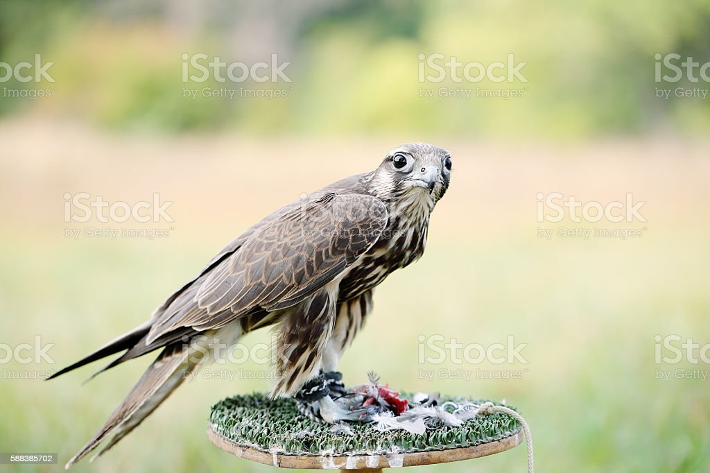 Falcon eating a pigeon stock photo