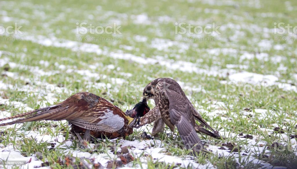 falcon eating pheasant stock photo
