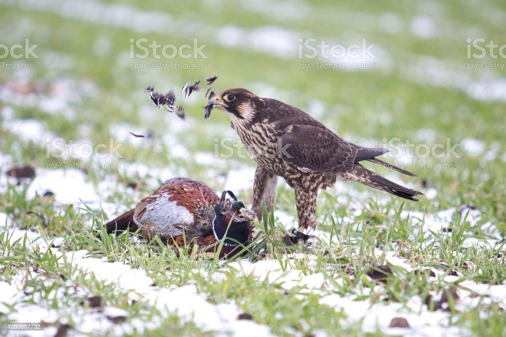 falcon eating the pheasant stock photo