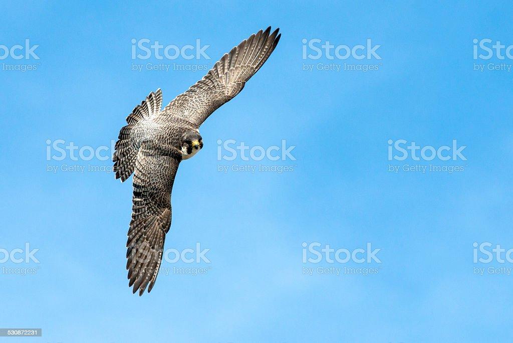 Falcon Flight stock photo