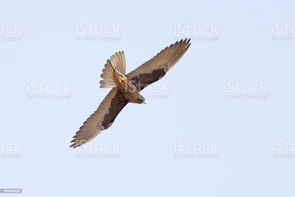 Falcon Flying stock photo
