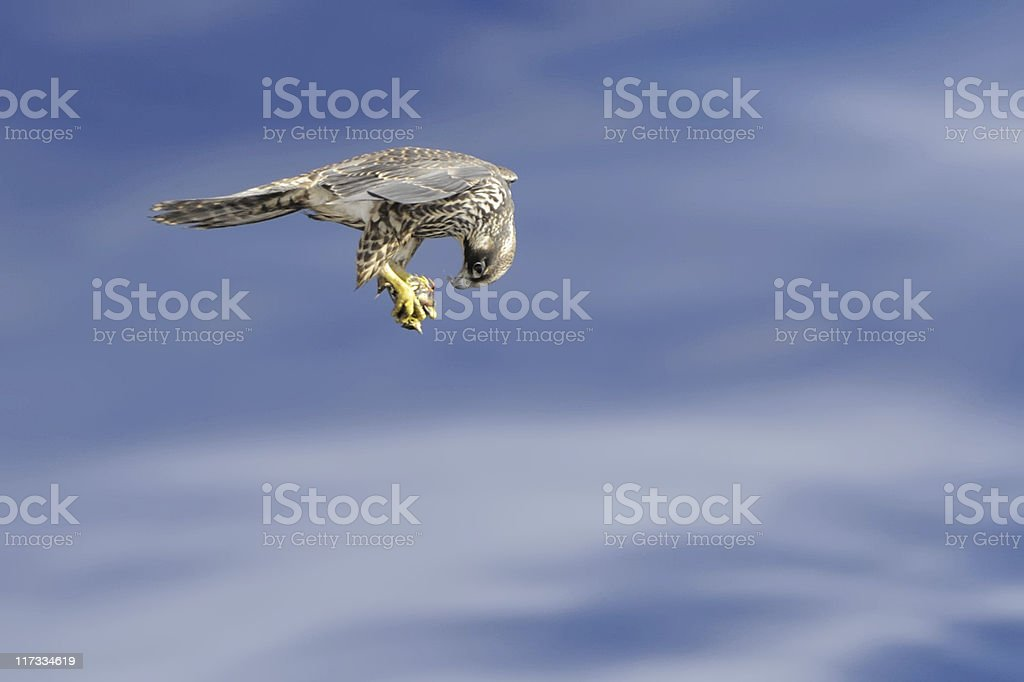Falcon Flying with Prey stock photo
