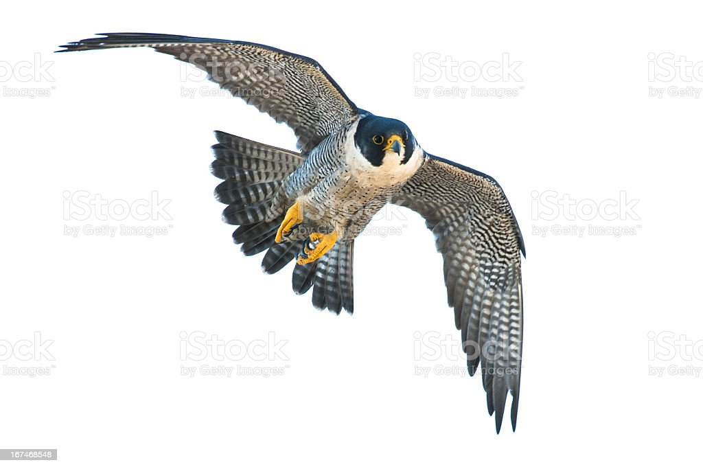 Falcon flying with wings spread on white background stock photo