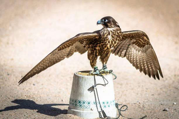 Falcon for Selling – Foto