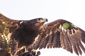 Close up image of a falcon gawking at his pray