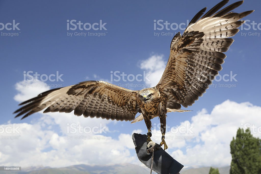falcon has spread wings. royalty-free stock photo