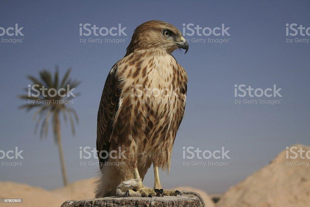 Falcon I royalty-free stock photo
