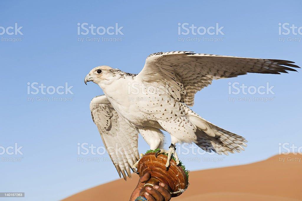 Falcon in desert stock photo