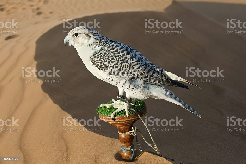 Falcon in desert royalty-free stock photo