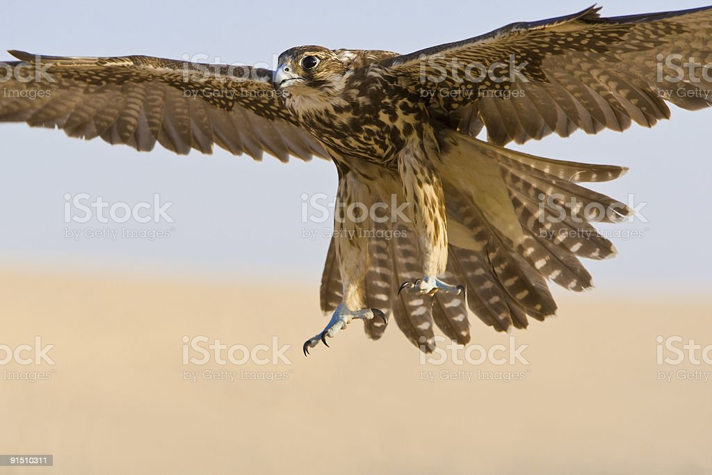 Falcon In Flight stock photo