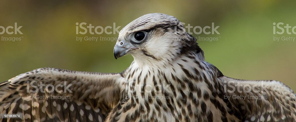Falcon looking at its wing royalty-free stock photo