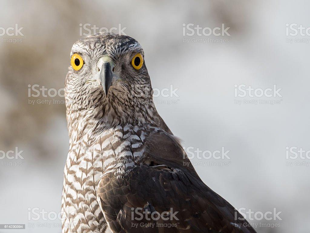 falcon looking stock photo