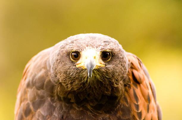 falcon sieht in die kamera. - mark tantrum stock-fotos und bilder