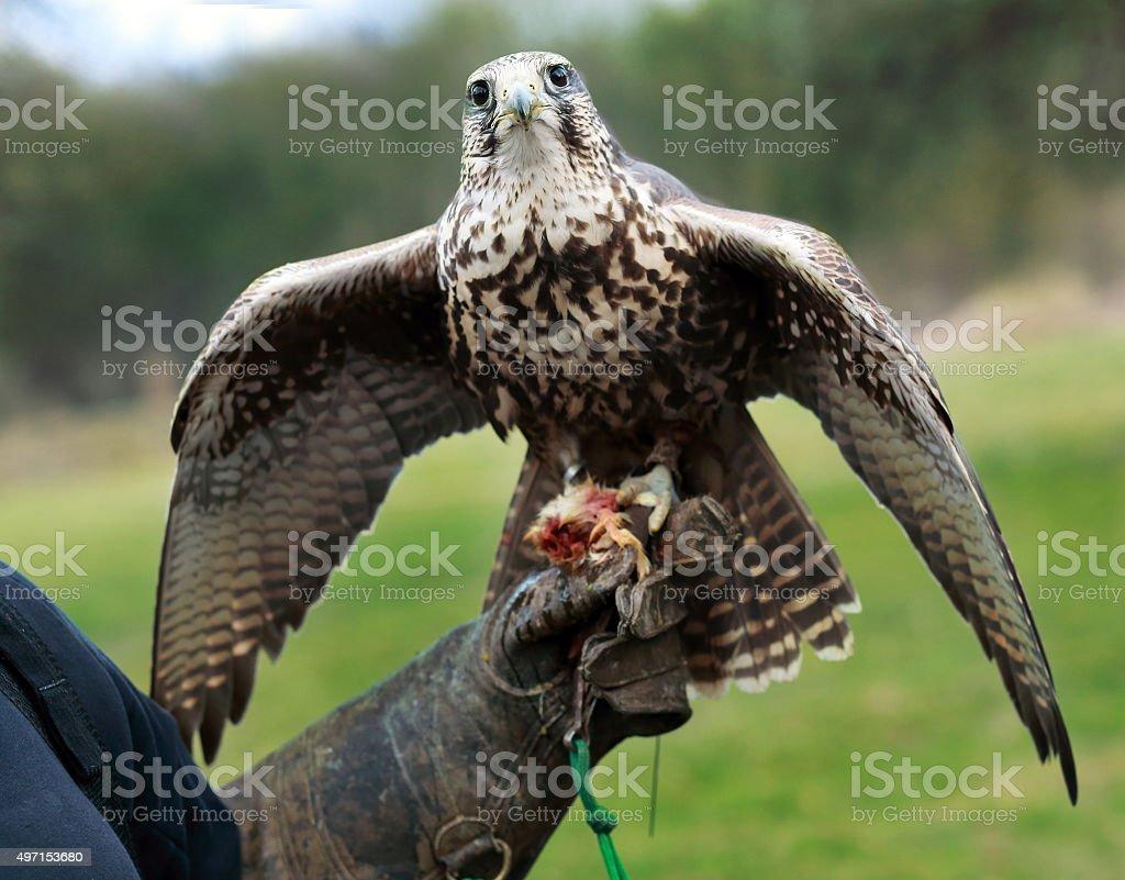 falcon on hand stock photo