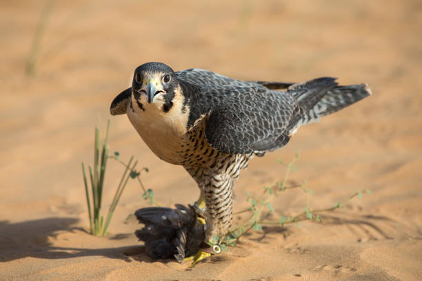 falcon on prey in a desert - peregrina stockfoto's en -beelden