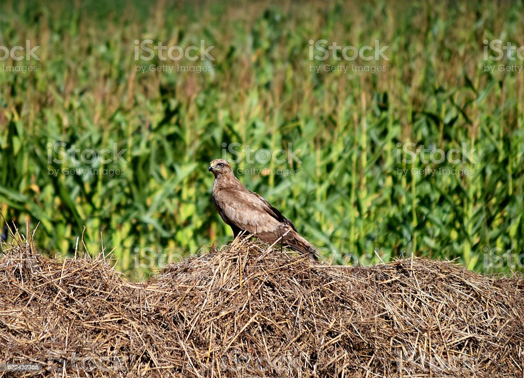 Falcon on the stack of hay looking around stock photo