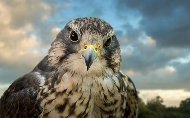 falcon - falcon bird stock photos and pictures