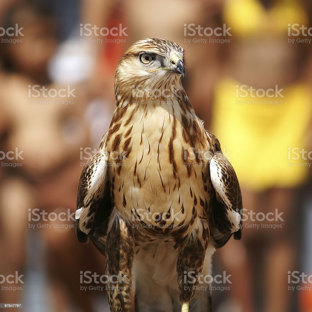 falcon royalty-free stock photo