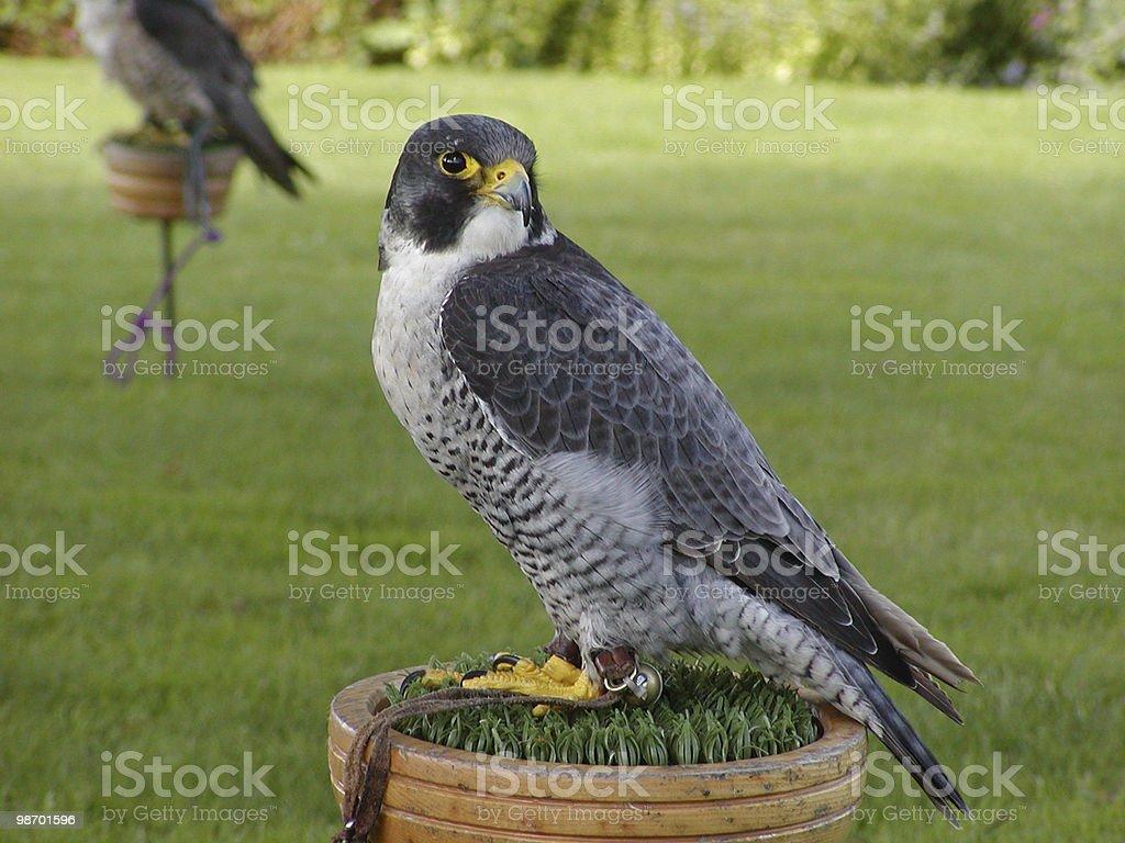 Falcon royalty-free stock photo