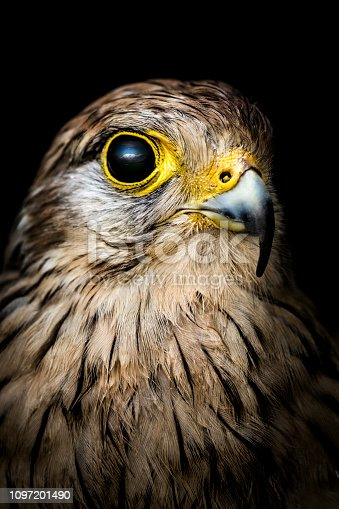 Portrait of a young falcon against black background. Clear sky and mountains reflects in it's huge eye.