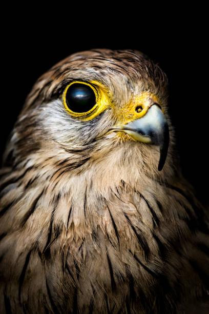 falcon portrait - falcon bird stock photos and pictures